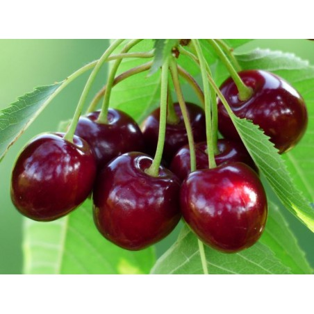 Cherry Menthol Concentrate
